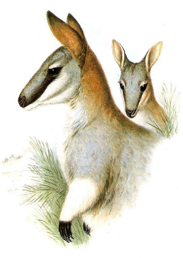 toolache wallaby animales extinguidos